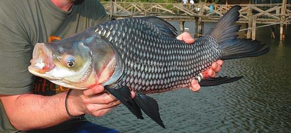 Cá giống nước ngọt và nước lợ - 5